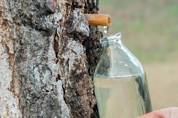 Как заготовить березовый сок на зиму в домашних условиях