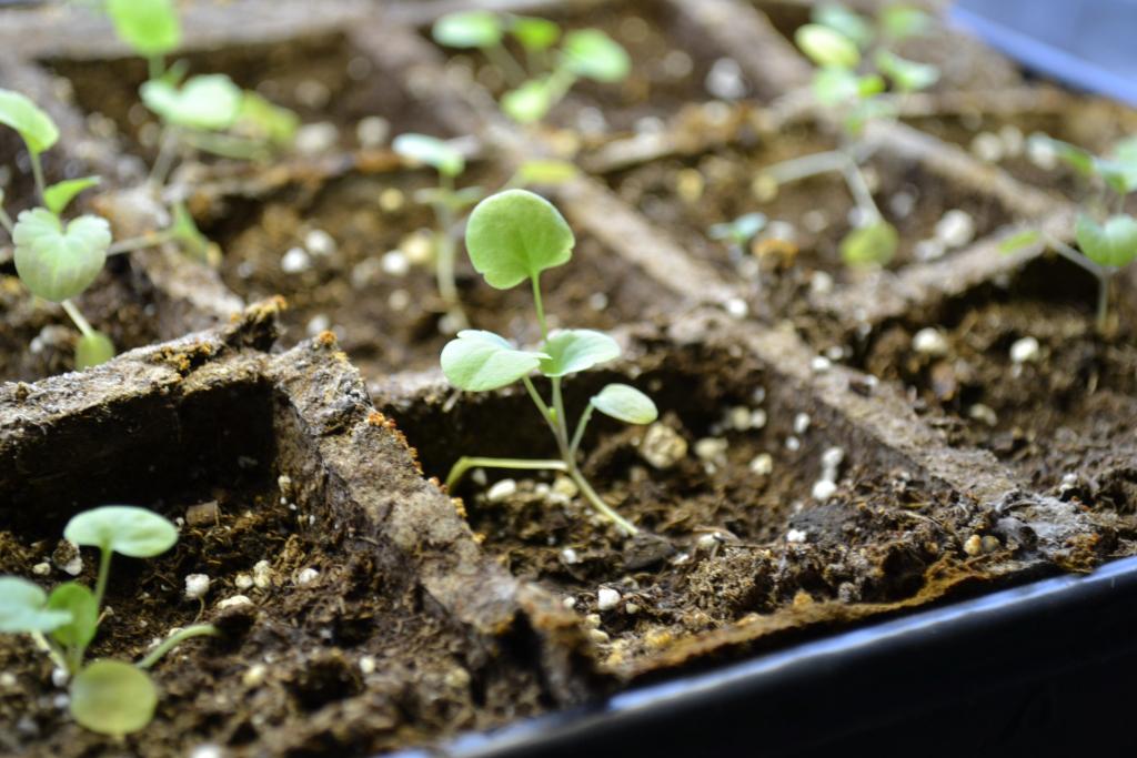 Анютины глазки: выращивание из семян: посадка и уход