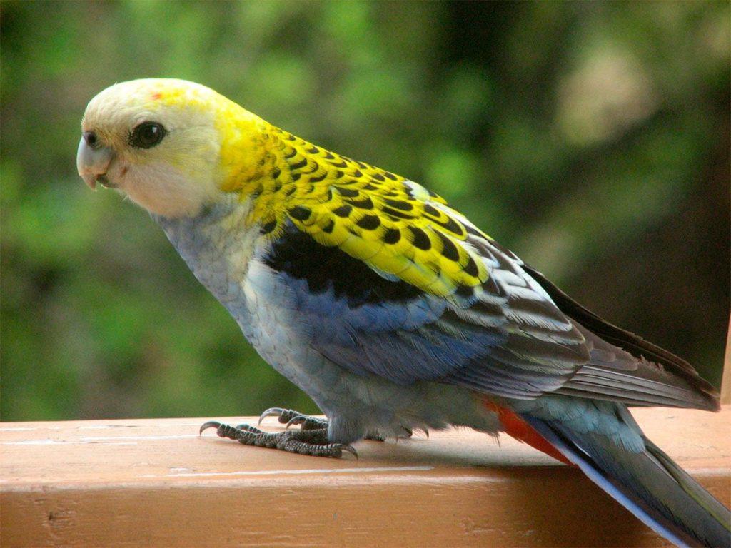 Какие виды попугаев существует: описание и характеристики