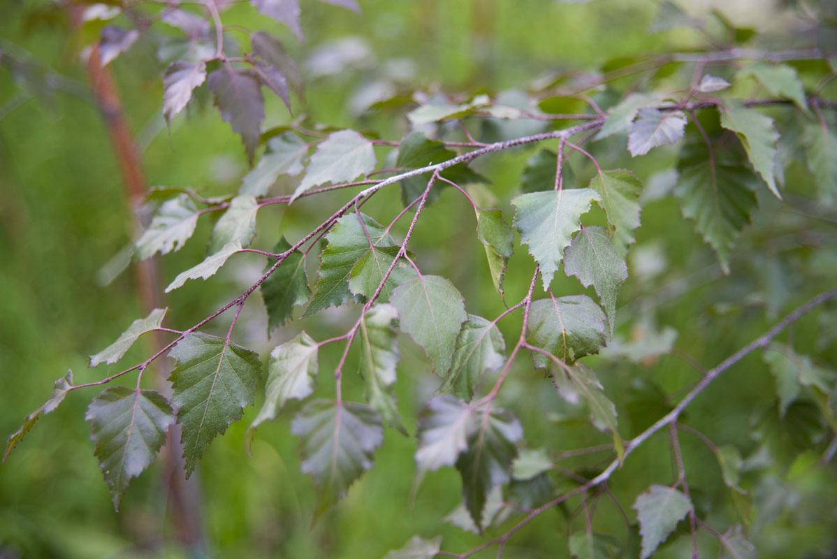 Береза – описание, виды, где растет, полезные свойства, фото