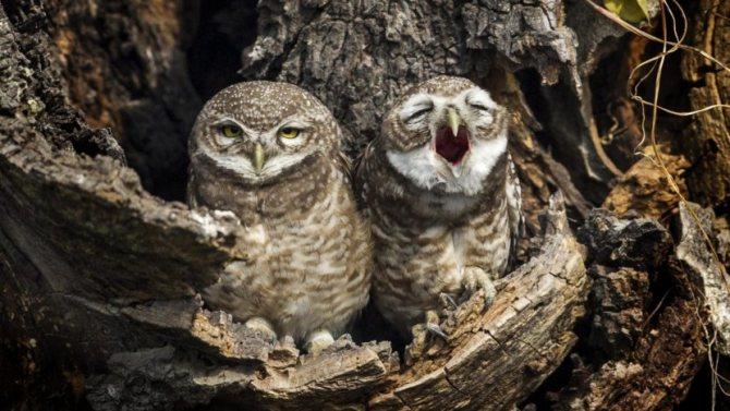 Совы: описание птицы, что ест, враги, размножение