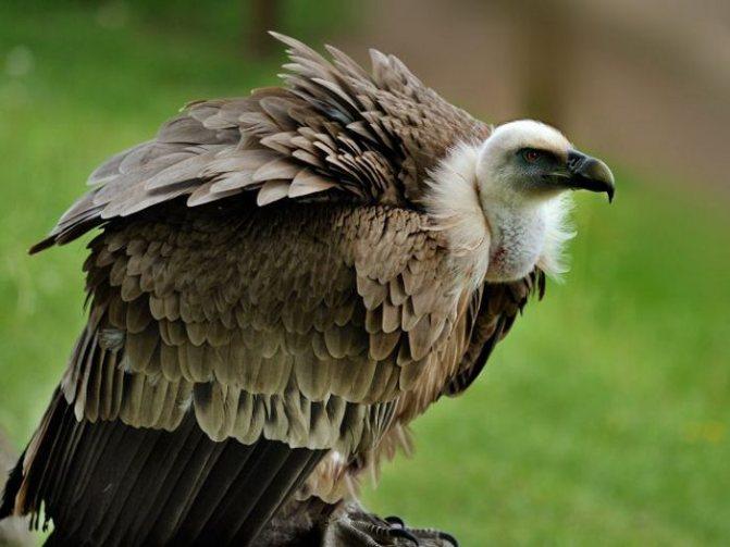 Гриф птица. образ жизни и среда обитания грифа