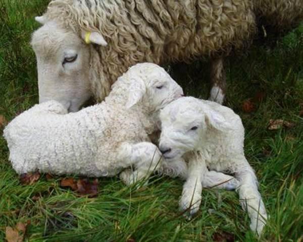 Барашки и овечки — posmotre.li