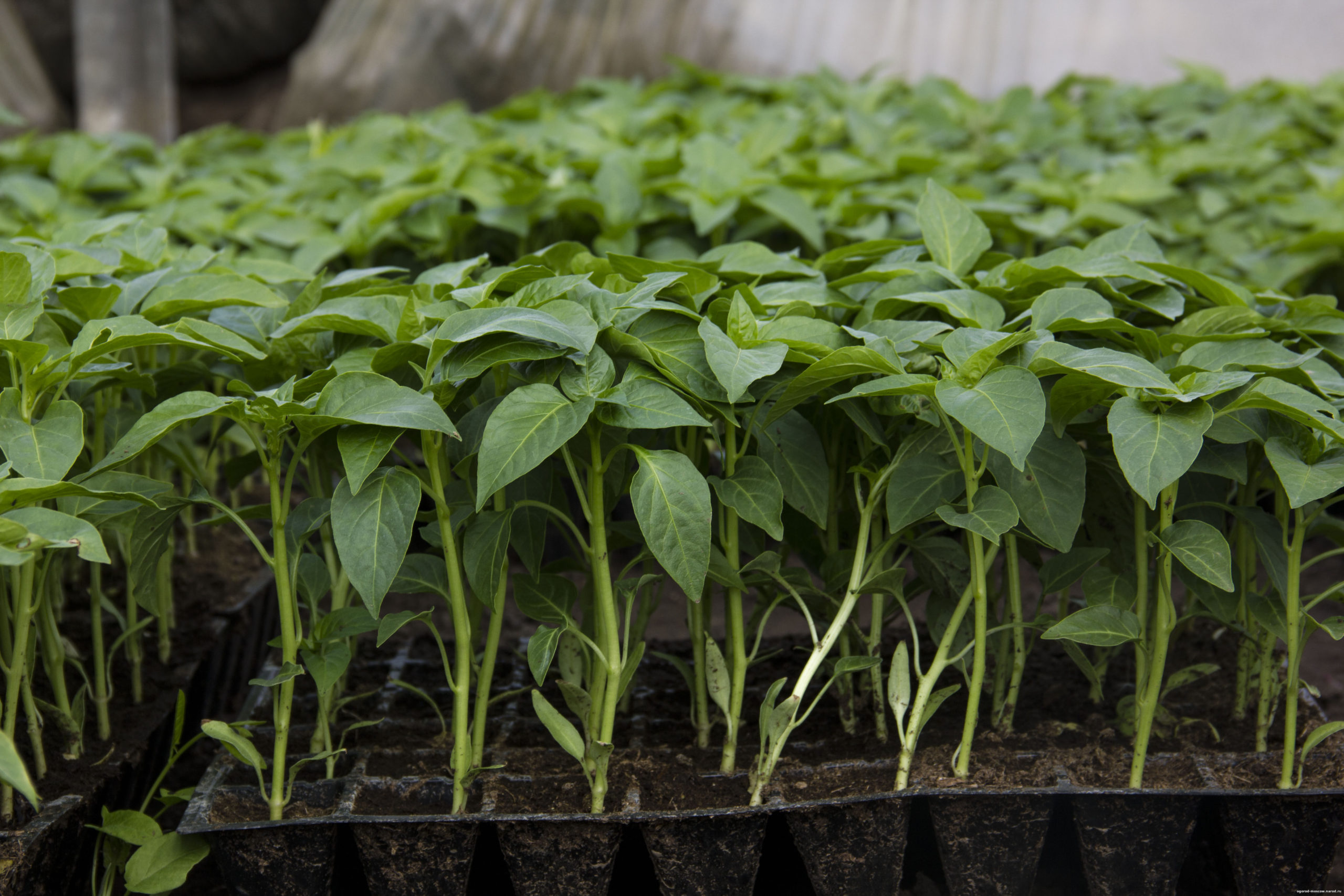 Как получить крепкую рассаду перца – пошаговый мастер-класс с фото | на грядке (огород.ru)