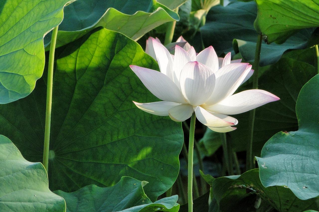 Цветок лотос: символ, значение, фото
