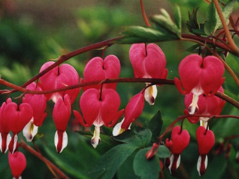 Цветок дицентра или разбитое сердце посадка и уход в открытом грунте размножение и зимовка