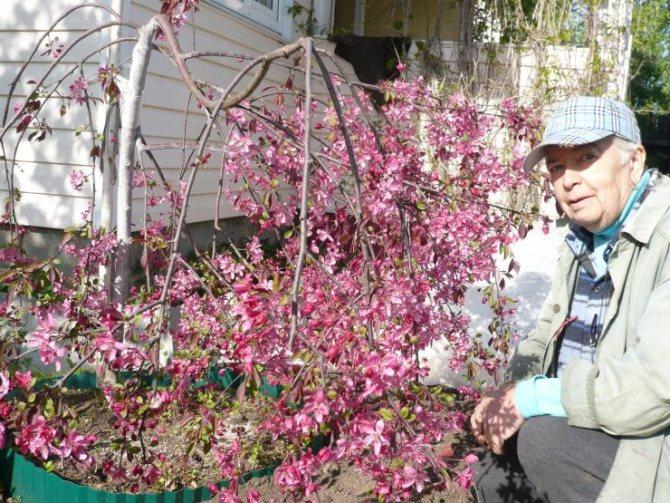 Яблоня декоративная (фото) сорта посадка и уход | сайт о саде, даче и комнатных растениях.
