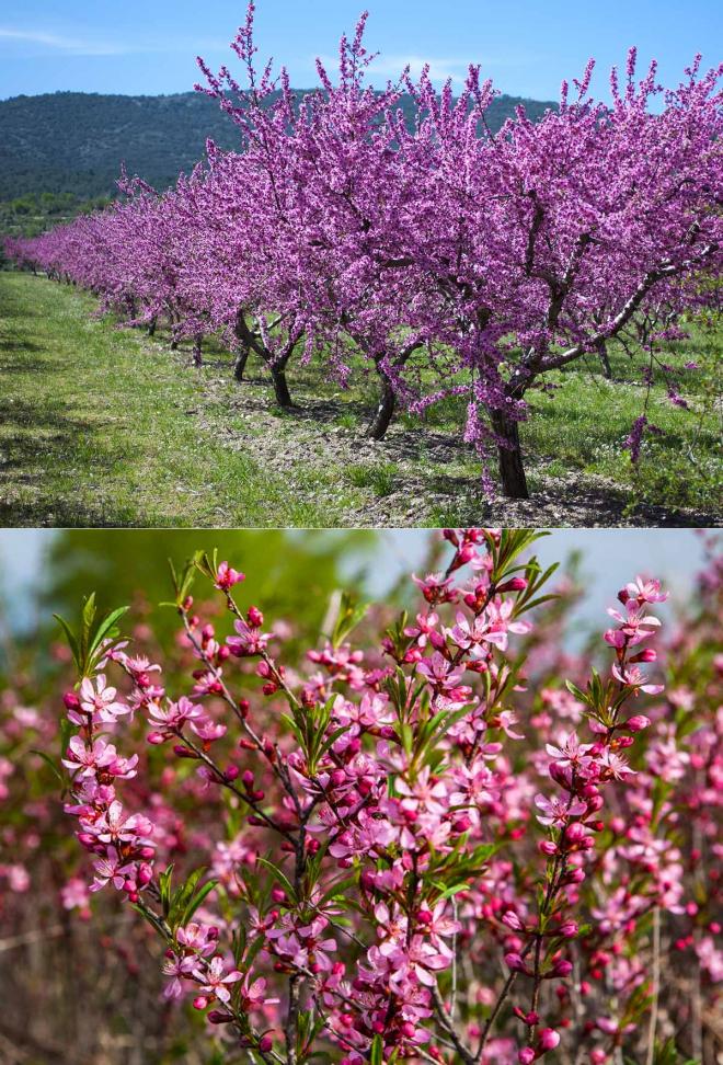 Декоративные плодовые для дизайна сада | в цветнике (огород.ru)