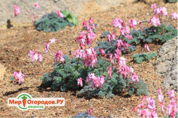 Садовые цветы. разбитое сердце (дицентра): посадка и уход :: syl.ru