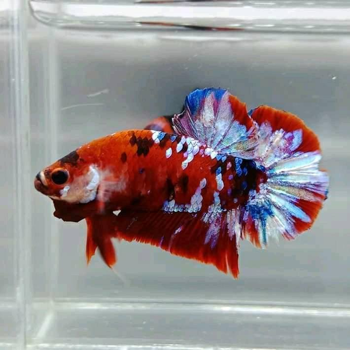 Рыбки петушки (61 фото): описание бойцовой аквариумной рыбки, разновидности петушков, нюансы разведения рыб в аквариуме в домашних условиях, температура воды