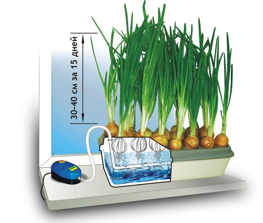 Бизнес на выращивании зеленого лука (сентябрь 2020) — vipidei.com