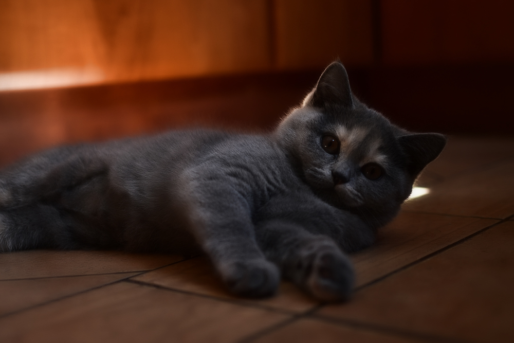 Называем британскую кошку, в зависимости от окраса и личных предпочтений