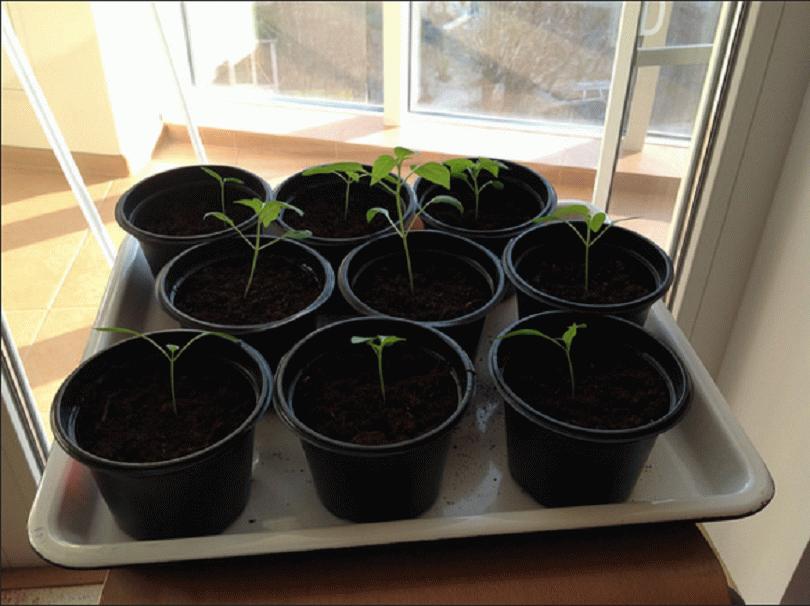 Посадка перца на рассаду: когда и как сеять по лунному календарю, видео и фото