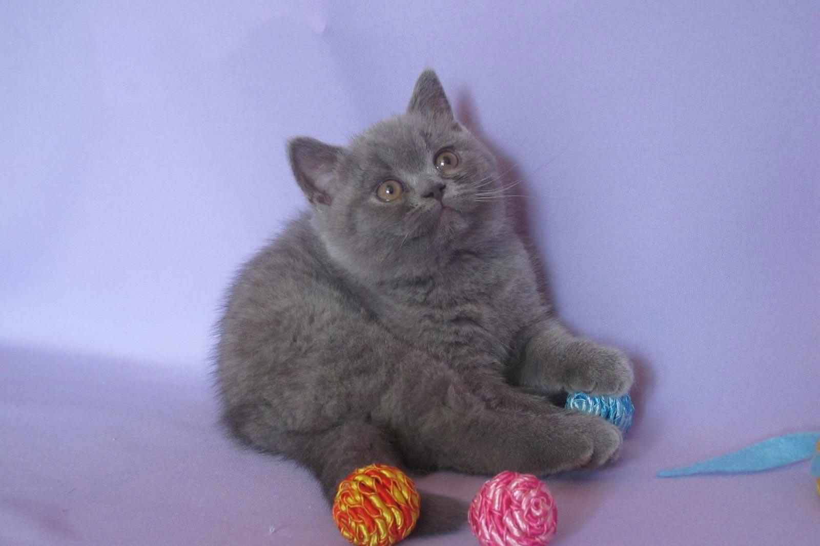 Подбираем клички для британских котят мальчиков