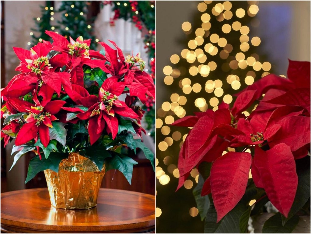 Народные поверья о рождественской звезде – цветке пуансеттии