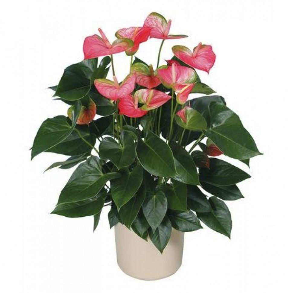 Изящный цветок монтбреция - цветы   описание, советы, отзывы, фото и видео