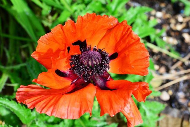 Растение гиломекон / лесной мак: фото, виды, выращивание, посадка и уход