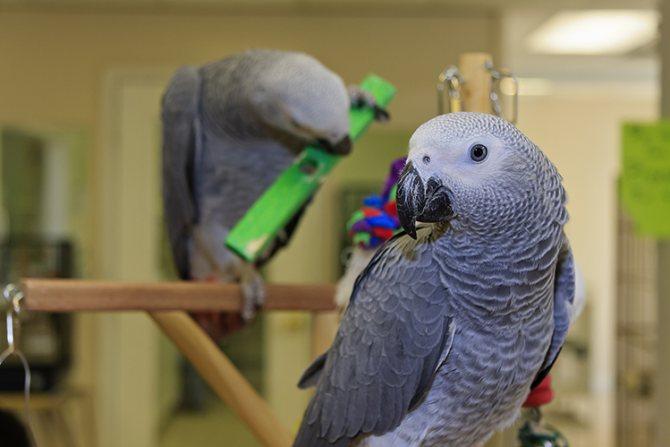Какого попугая лучше всего завести в квартире