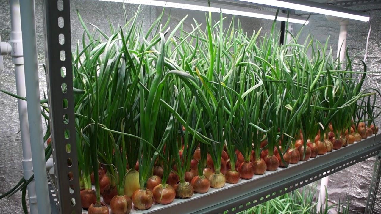 Выгонка лука зеленого: как разбудить репку на зелень быстро, применение стимуляторов (ускорителей роста), особенности осенней выгонки и зимней