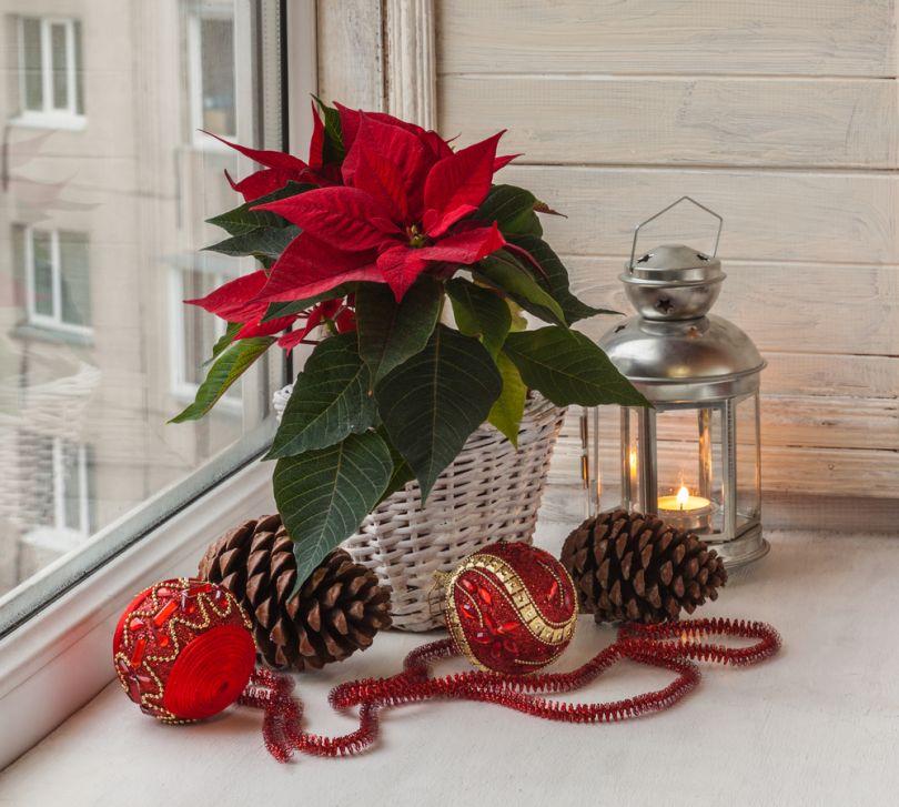 Цветок рождественская звезда: уход в домашних условиях