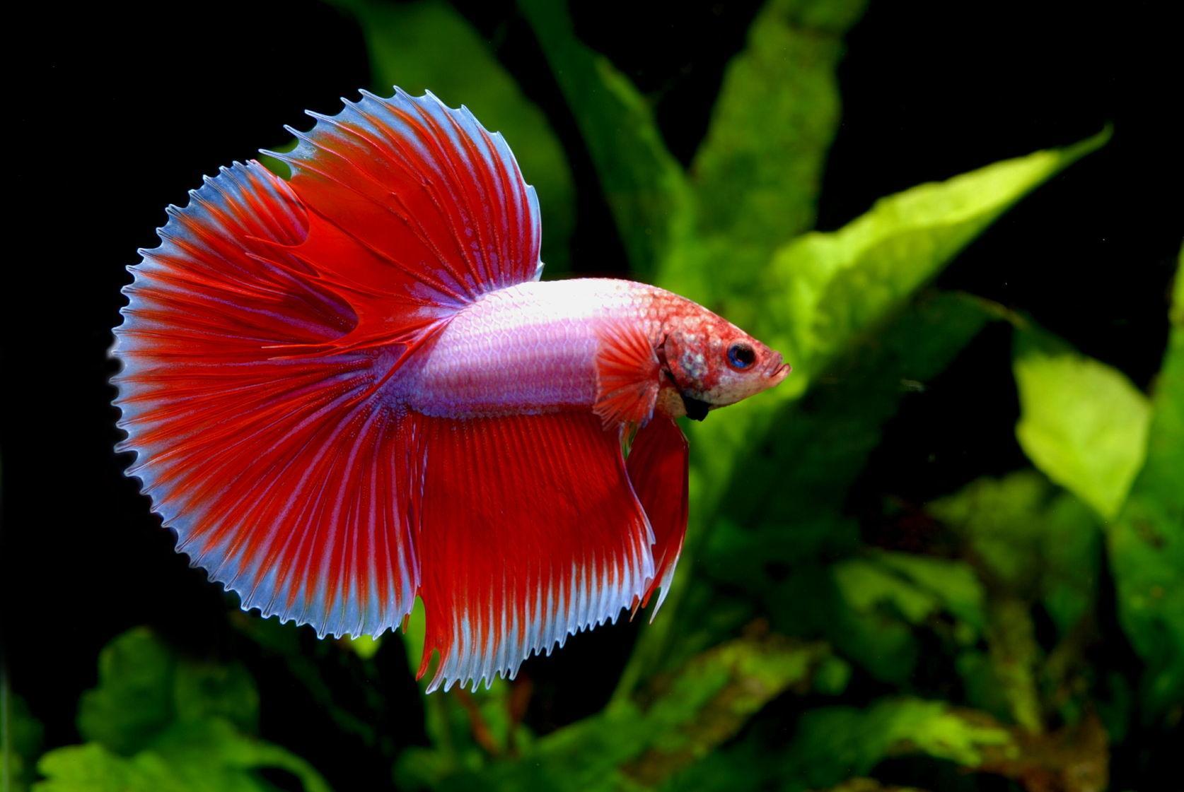 Петушок рыбка: размножение,содержание,фото,видео,совместимость