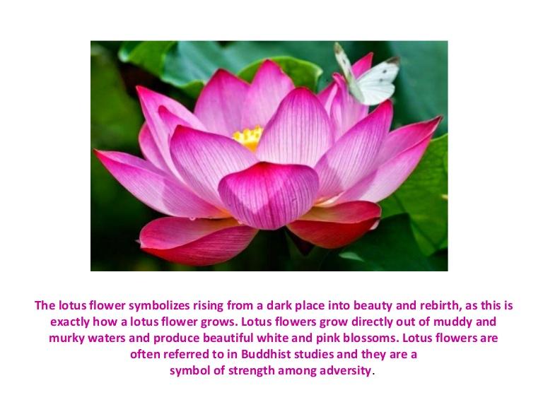 Что символизирует цветок лотоса в разных уголках нашей планеты?