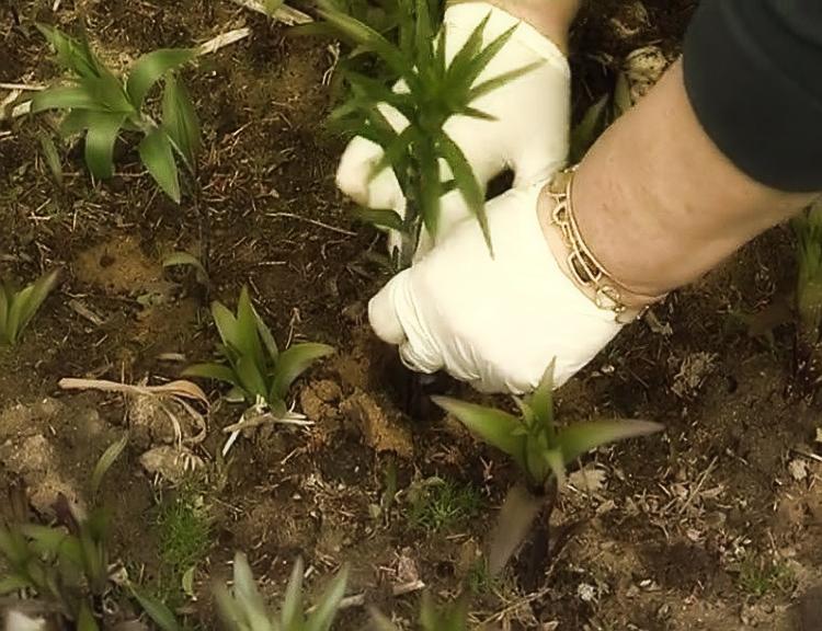 История происхождения лилии – символа чистоты и непорочности