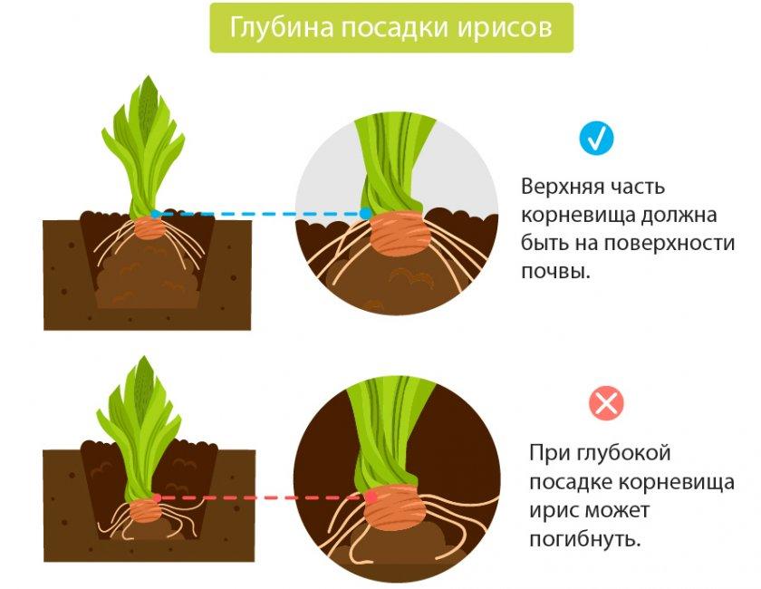 Лилия тигровая: способ выращивания, размножение- разновидность сортов +видео