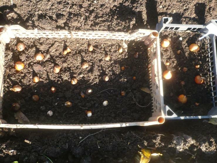 Посадка тюльпанов в корзины для луковичных культур, уход