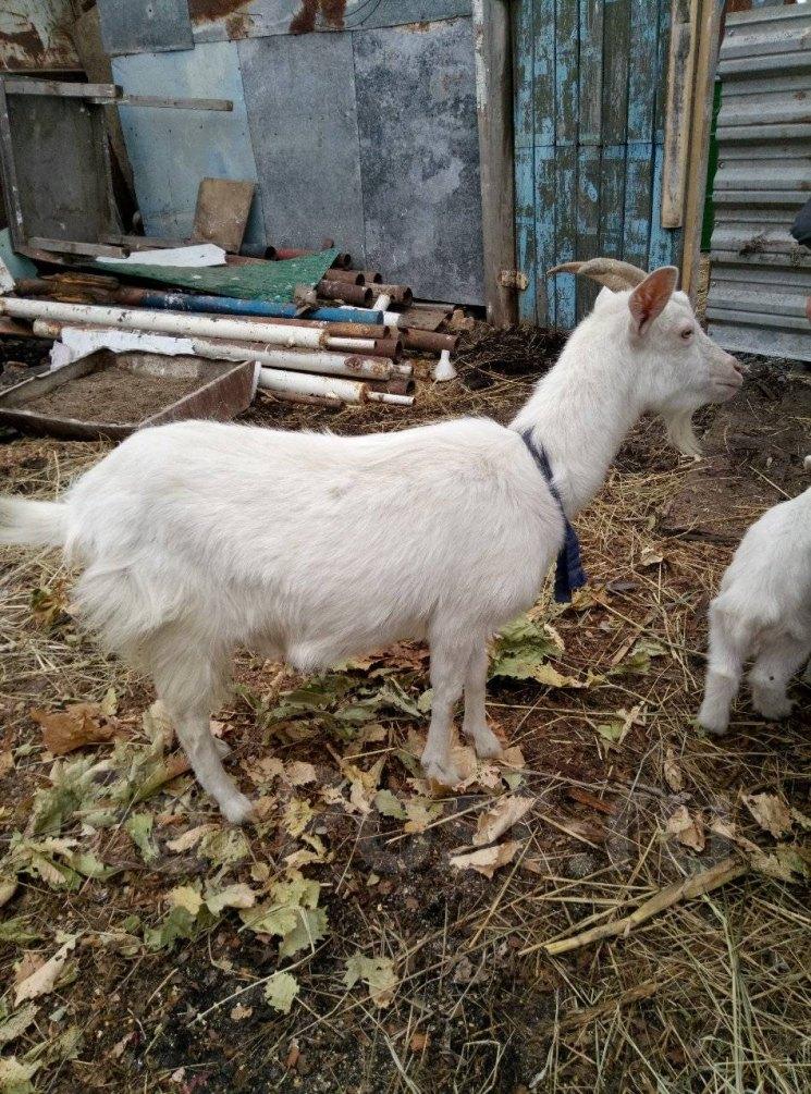 Карликовая коза: породы мини коз