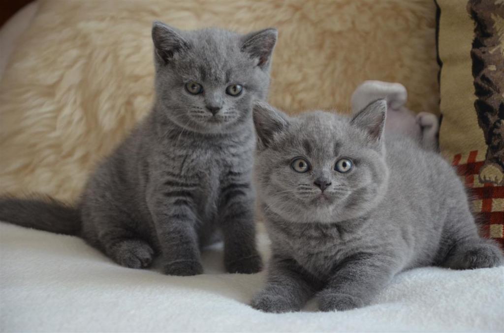 Окрасы британских кошек: фото, стандарты. виды окрасов британцев. группы окрасов британской породы кошек. окрасы британских котят с фото. категории окрасов британских котов.