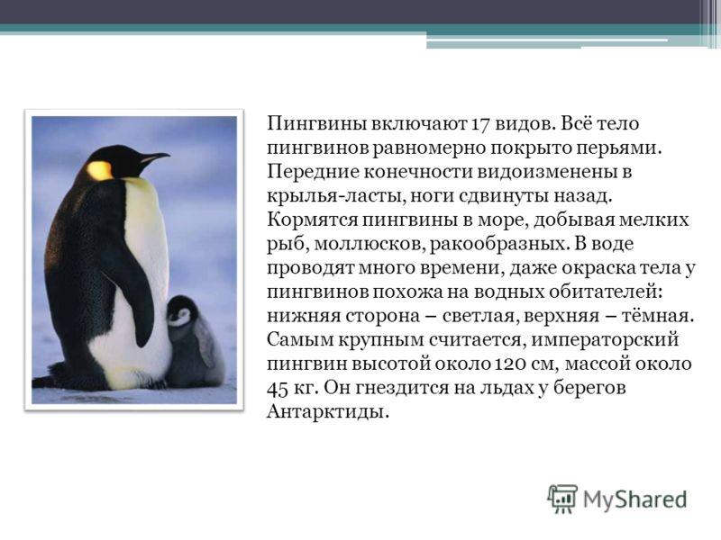 Пингвины – интересные факты, фото и видео  - «как и почему»