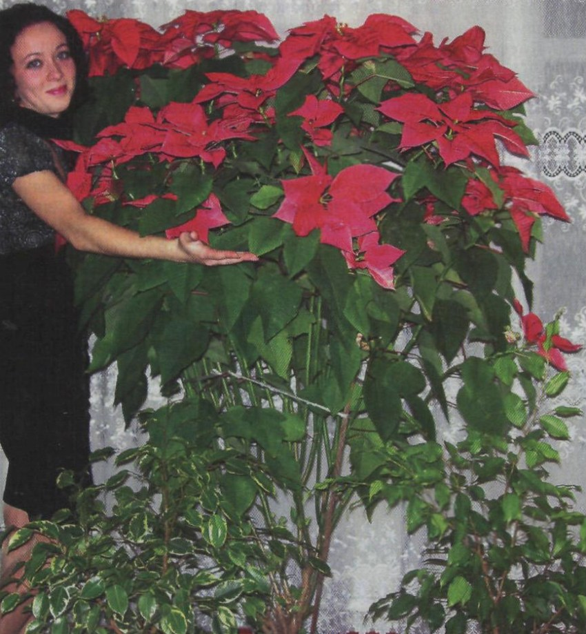 Пуансеттия – как вырастить рождественскую звезду в домашних условиях?