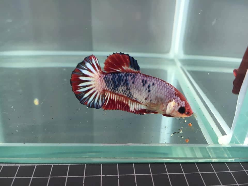 Аквариумная рыбка петушок. фото, уход, содержание, совместимость, размножение, видео