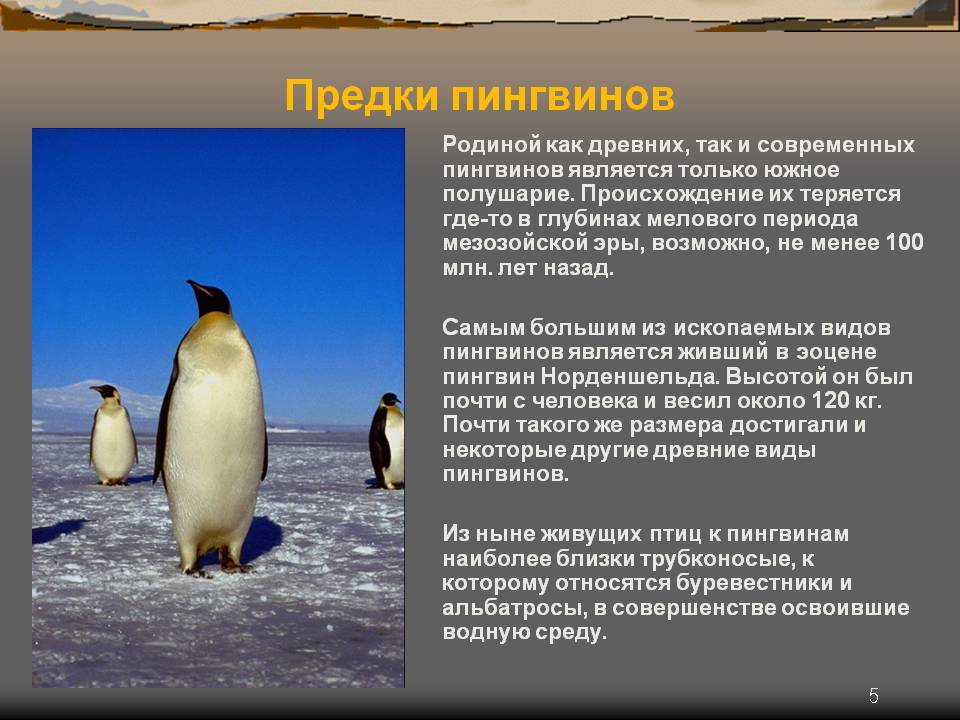 Субантарктический пингвин: интересные факты о животном. обитание и питание