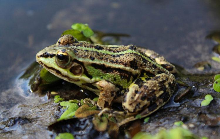 Лягушка на озере
