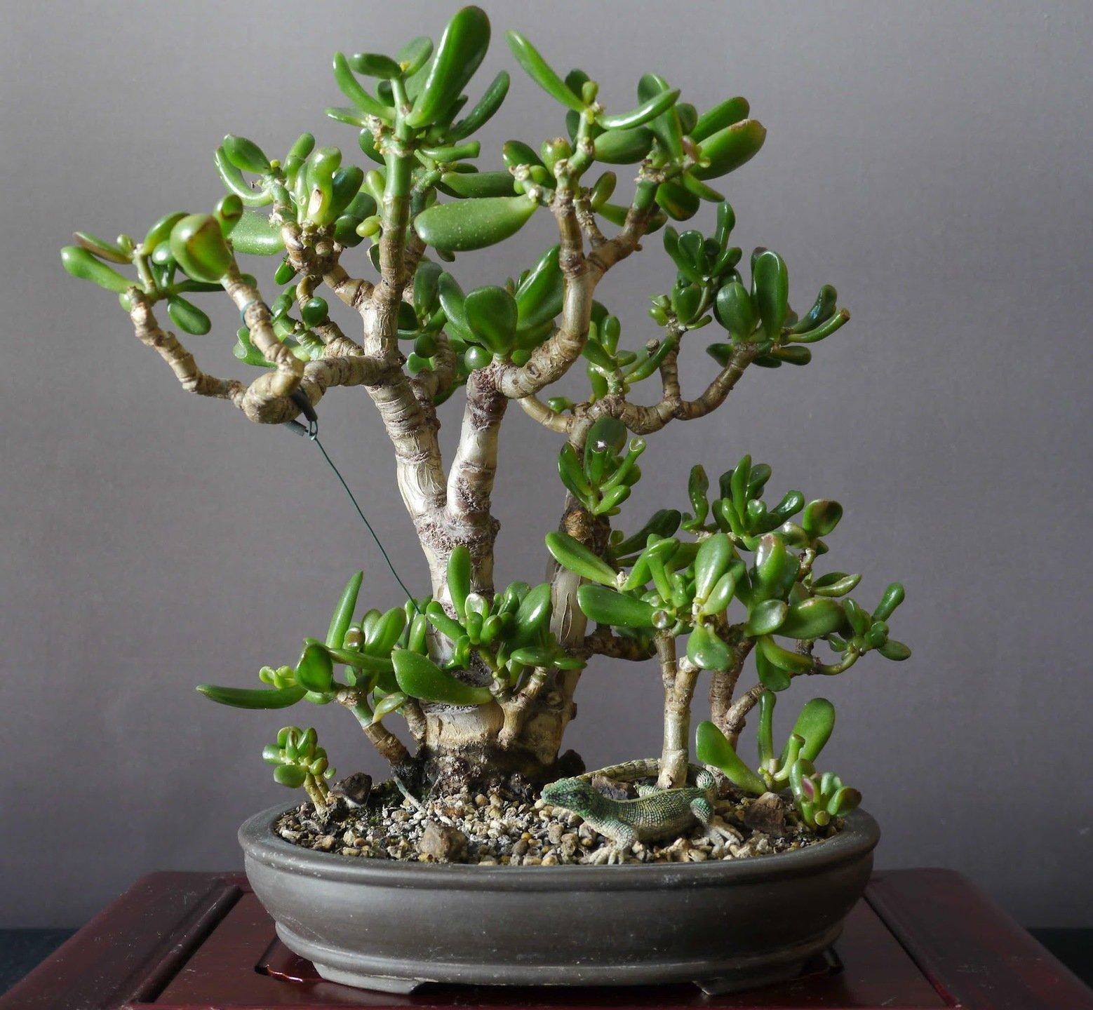Денежное дерево: уход за толстянкой в домашних условиях