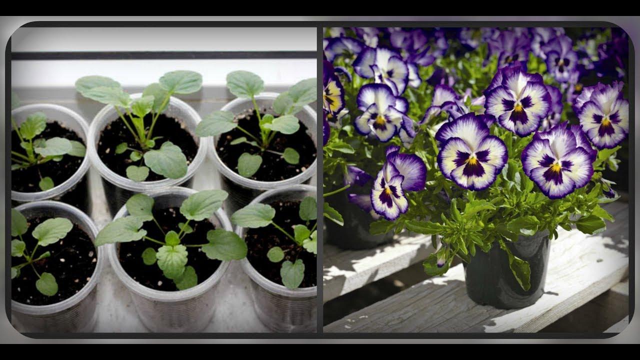 Анютины глазки: выращивание из семян
