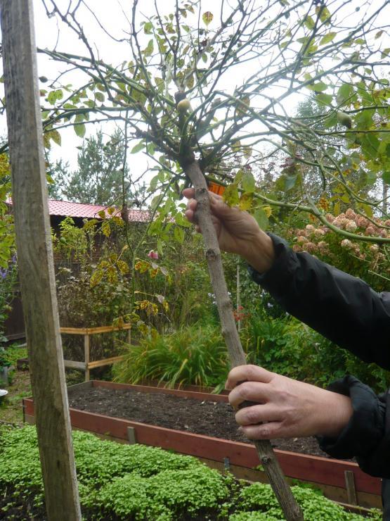 Штамбовые розы: уход и выращивание, лучшие сорта