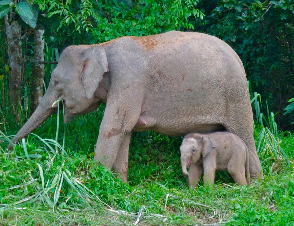 Слон: его повадки, образ жизни, видео, фото