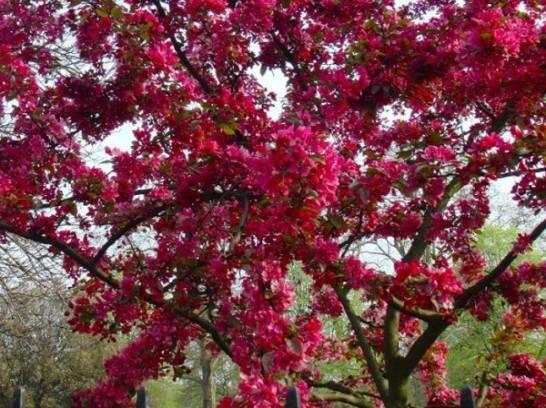 Декоративная яблоня хелена: отзывы о внешнем виде, описание цветения и плодов, их фото