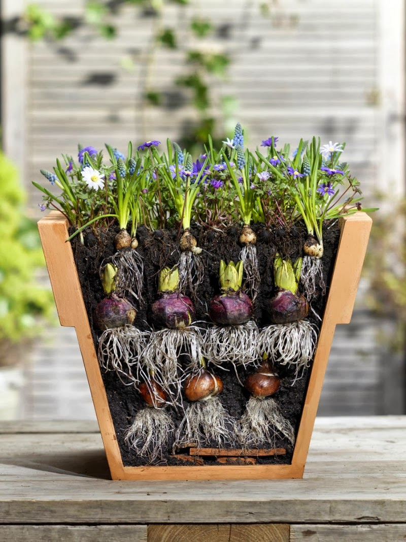Как посадить тюльпаны в корзины для луковичных?