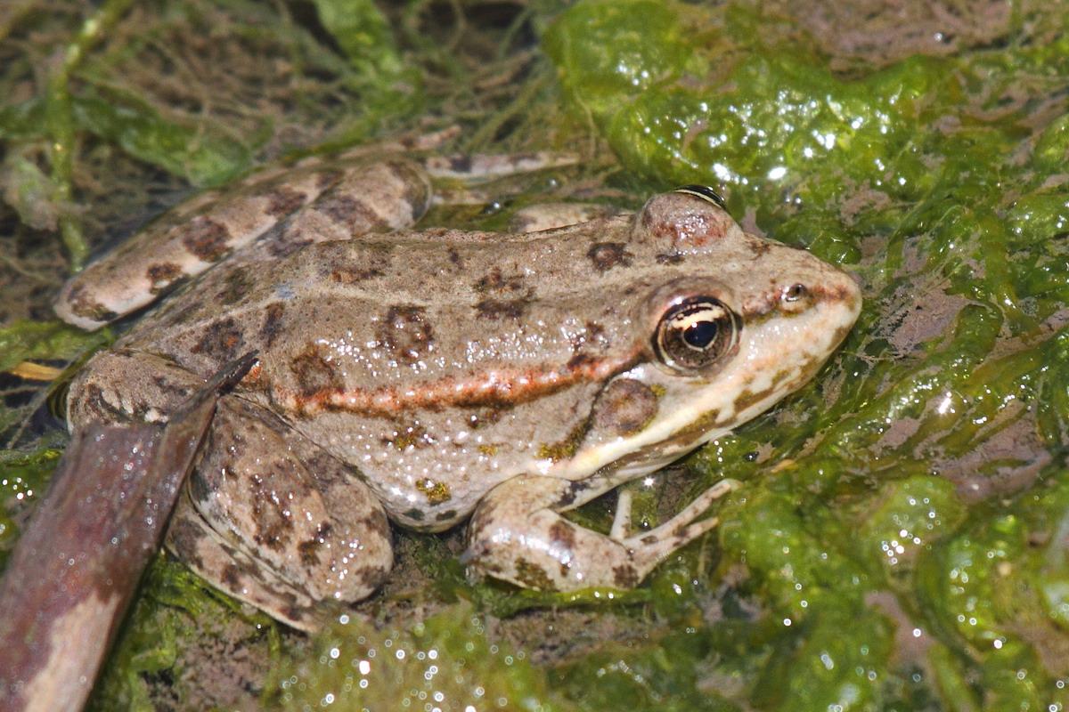 Озерная лягушка ? фото, описание, ареал, питание, враги ✔