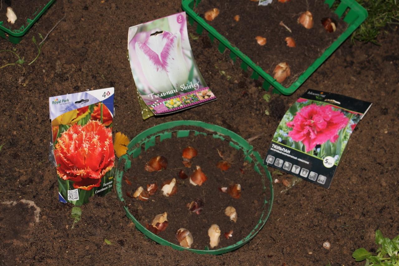 Высадка тюльпанов в контейнеры осенью – подробное руководство с фото