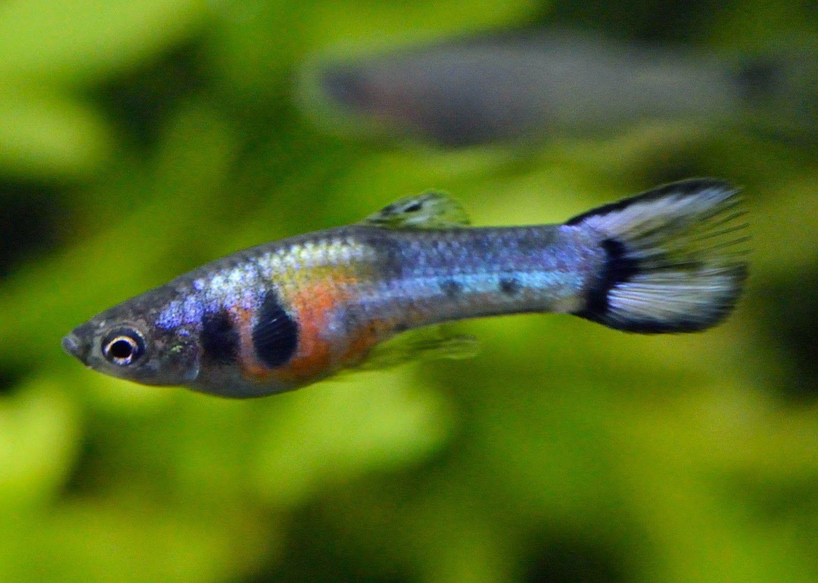 Неприхотливые аквариумные рыбки для начинающих аквариумистов: топ-10