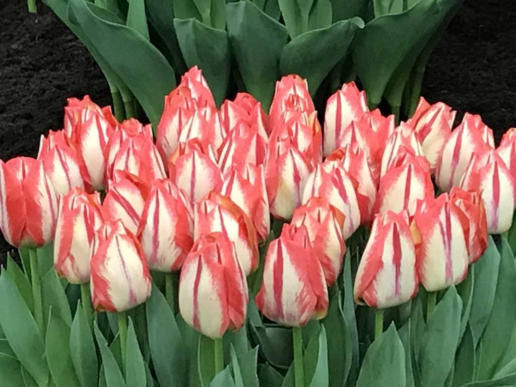 10 самых необычных сортов тюльпанов | в цветнике (огород.ru)
