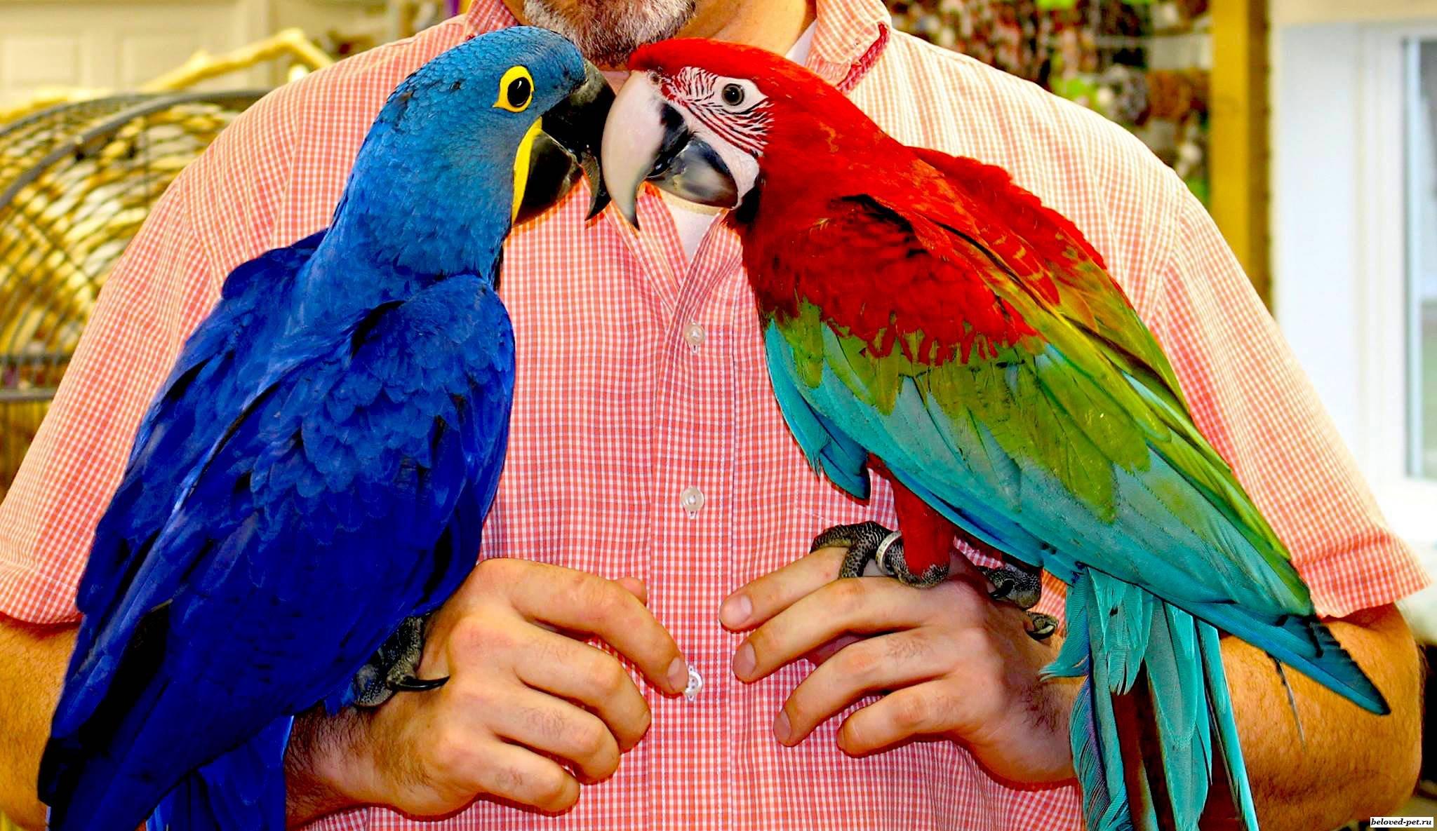 Попугаи говорящие: лучшие породы для дома, особенности содержания