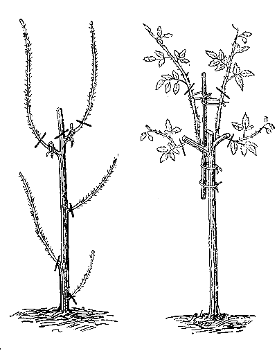 Описание и сорта высоких роз: гиганты, полутораметровые, в человеческий рост