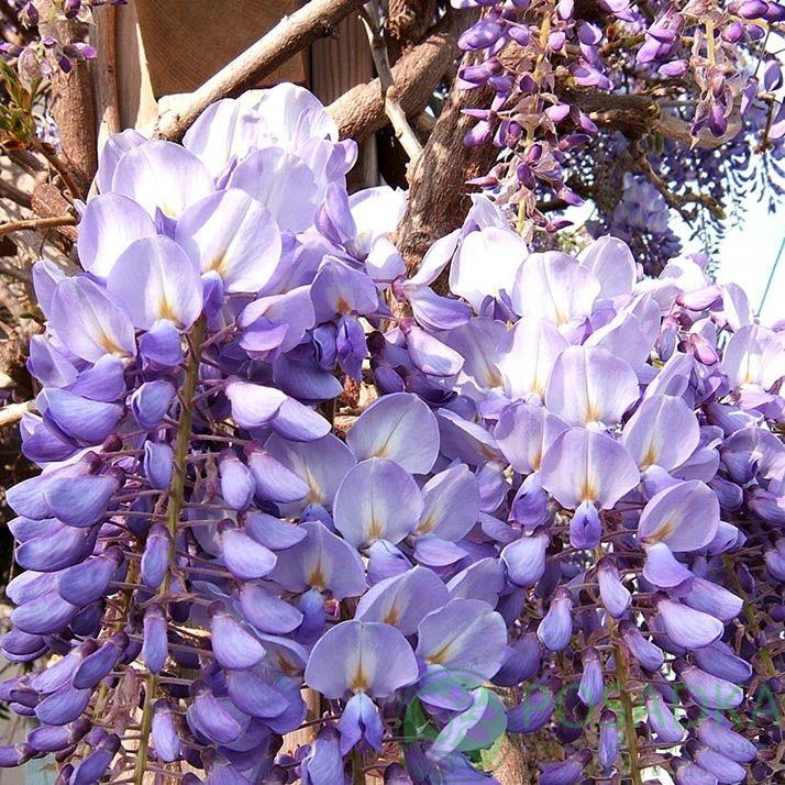 Цветок глициния: посадка и уход в открытом грунте, виды и сорта с фото