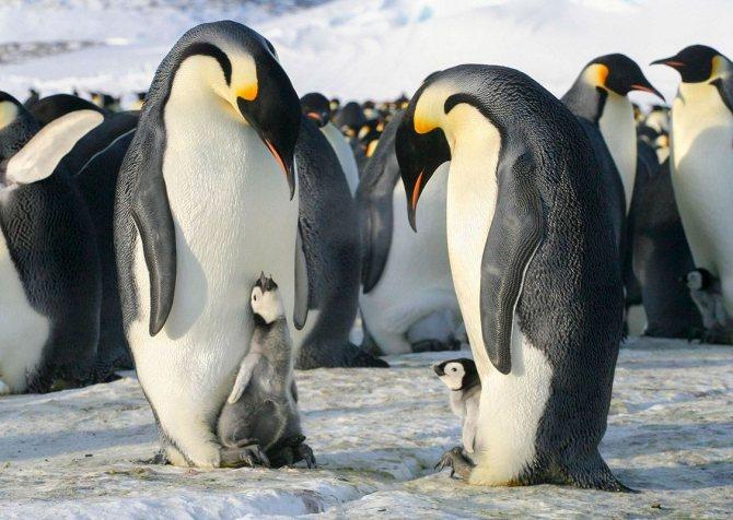 Пингвин – описание, виды, чем питаются пингвины, где живут, фото